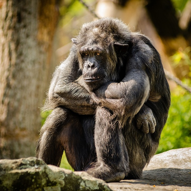 chimpanzee-978809_640